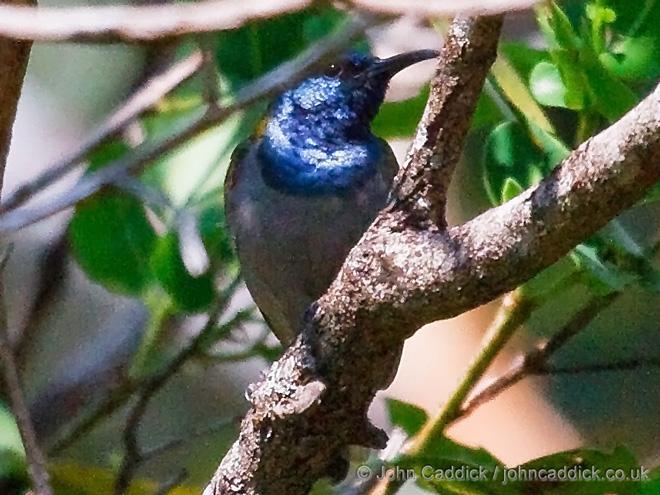 Bannermans_Sunbird_Zambia