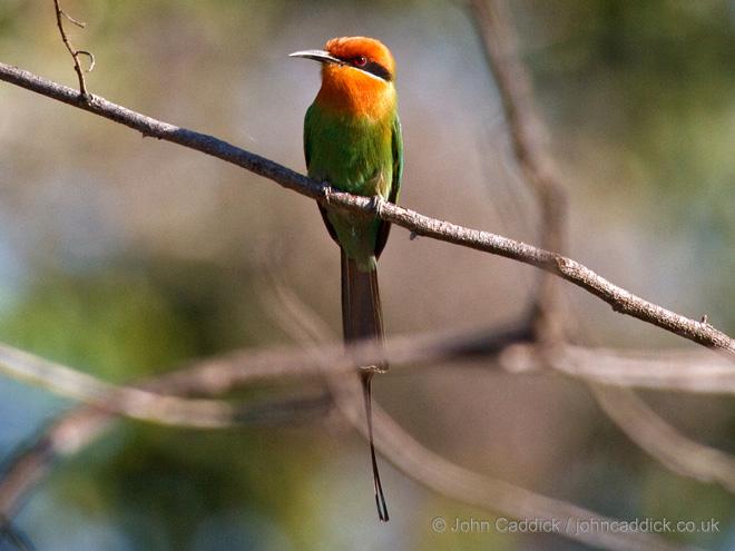 Bohms_Bee_eater_Zambia
