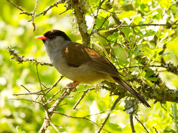Bush_Blackcap_Wakkerstroom_South_Africa