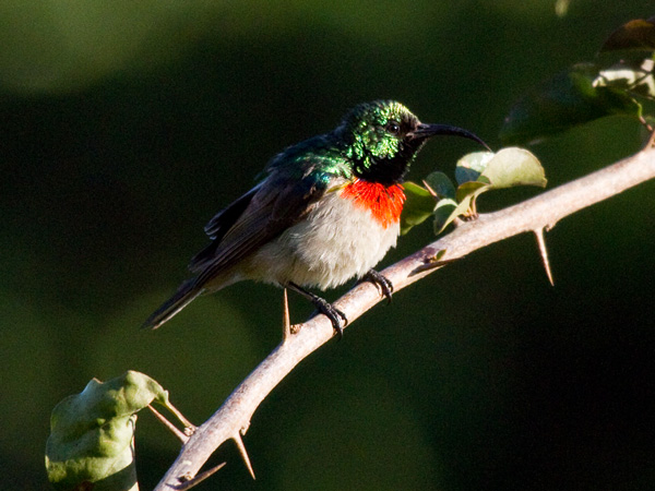 Miombo_Double_collared_Sunbird_Zimbabwe