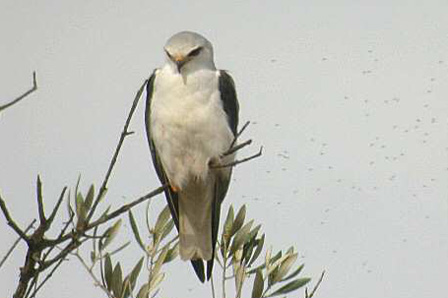 Black_shouldered_Kite_Algeria