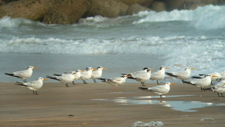 Benin_Royal_Terns_Cotonou