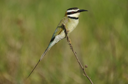 Benin_White_throated_Bee_eater