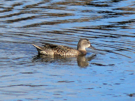 Blue_winged_Teal_Madeira