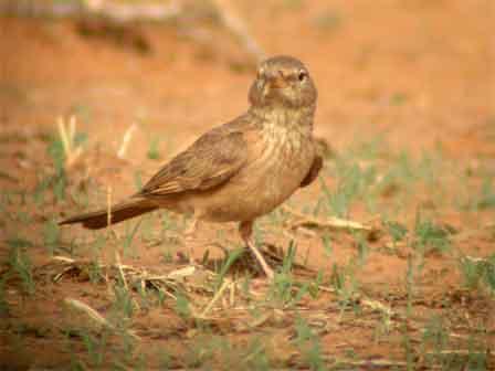 Desert_Lark_Burkina_Faso