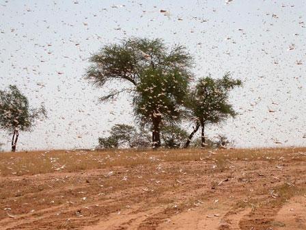 Locust_Swarm_Burkina_Faso