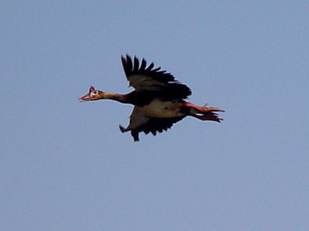 Spur_winged_Goose_in_flight_Burkina_Faso