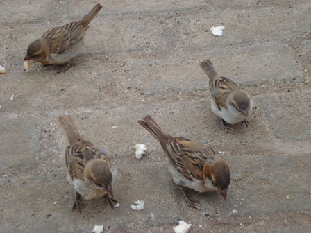 Iago_Sparrows_Cape_Verde