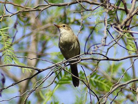 Cape_Verde_Warbler