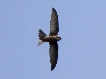 Cape_Verde_Swift