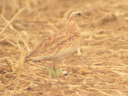 Quail_Plover_Cameroon