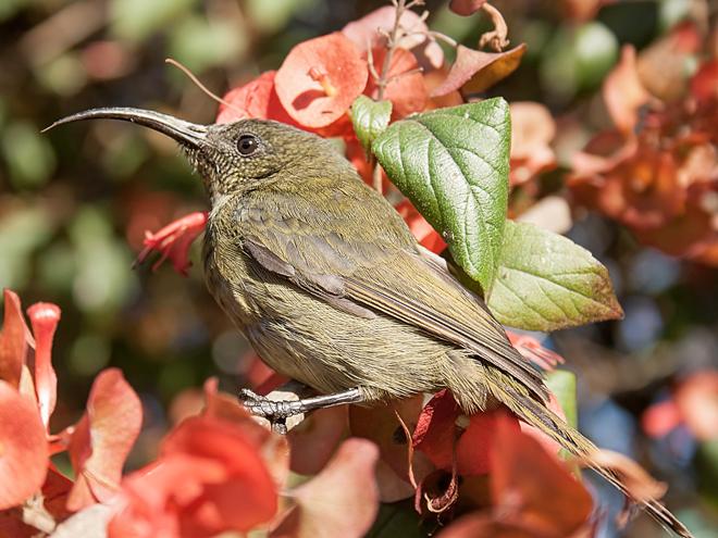 Eastern_Olive_Sunbird