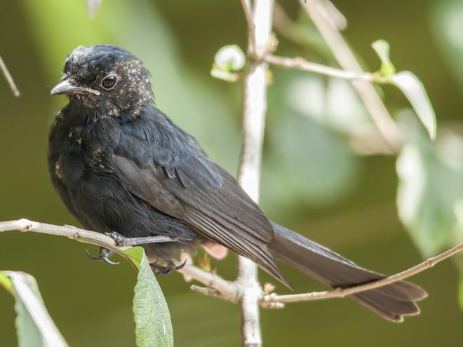 Southern_Black_Flycatcher