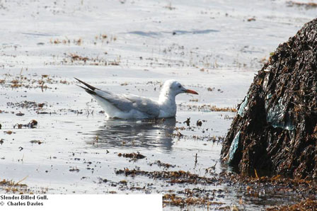 Djibouti_Slender_billed_Gull
