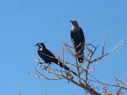 Djibouti_Somali_Starlings