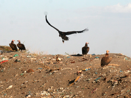 Vultures_Djibouti