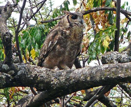Greyish_Eagle_Owl_Ethiopia