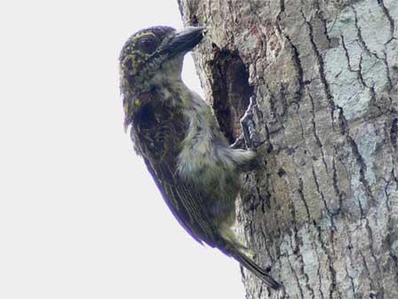 Speckled_Tinkerbird_Gabon