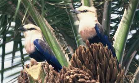 Blue_bellied_Roller_Gambia