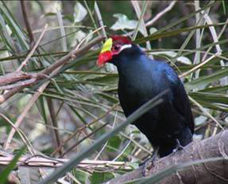 Violet_Turaco_Gambia