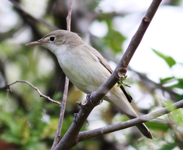 Gambia_Olivaceous_Warbler