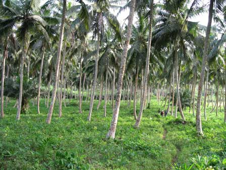 Coconut_Plantation_Ghana