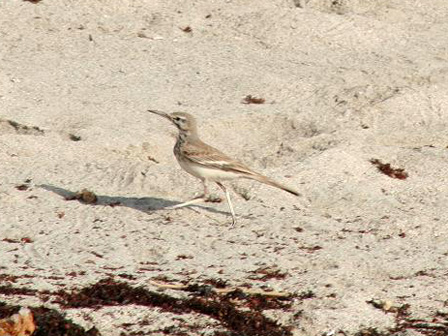 Greater_Hoopoe_Lark_Somalia