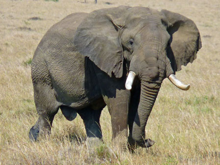 Kenya_African_Elephant
