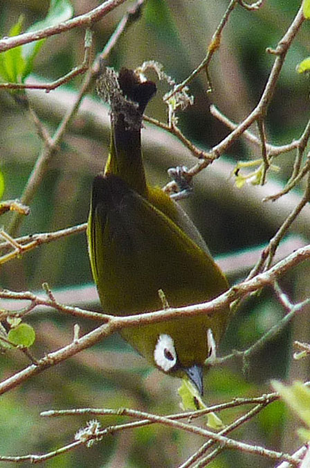 Taita_White_eye_Kenya