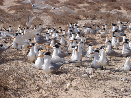 Lesser_Crested_Terns_Libya