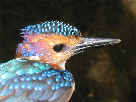 African_Pygmy_Kingfisher_Malawi