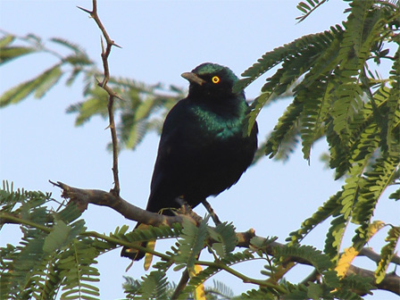 Greater_Blue_eared_Starling_Mali