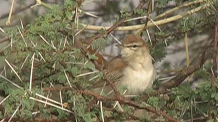 Rufous_tailed_Scrub_Robin
