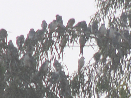 African_Swallow_tailed_Kites_Mali