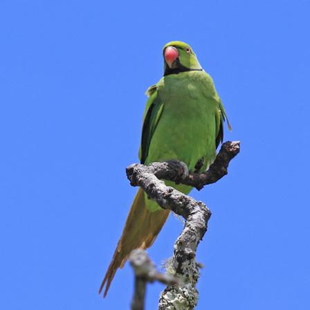 Mauritius_Parakeet