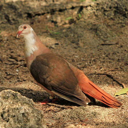 Mauritius_Pink_Pigeon