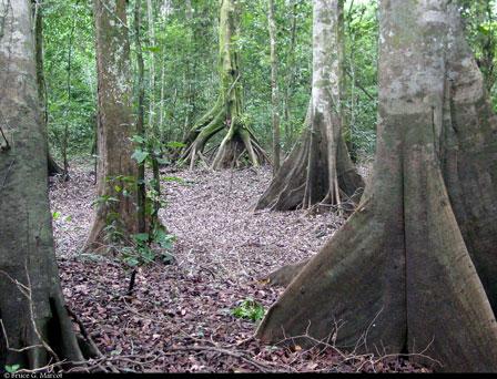 Mobenzino_forest_DRC