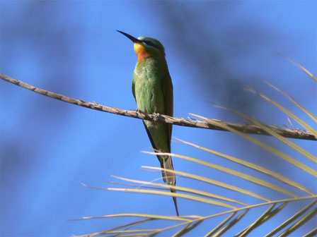 Blue_cheeked_Bee_eater_Morocco