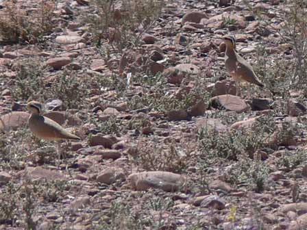 Cream_coloured_Coursers_Morocco