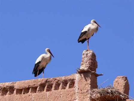 White_Storks_Morocco