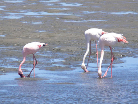 Flamingos_Namibia