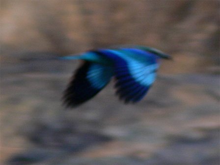 Lilac_breasted_Roller_Namibia