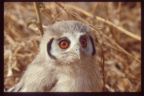 White_faced_Scops_Owl_Niger