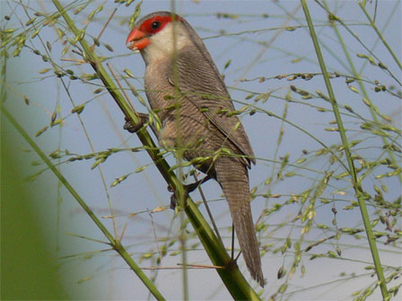 Common_Waxbill_Príncipe