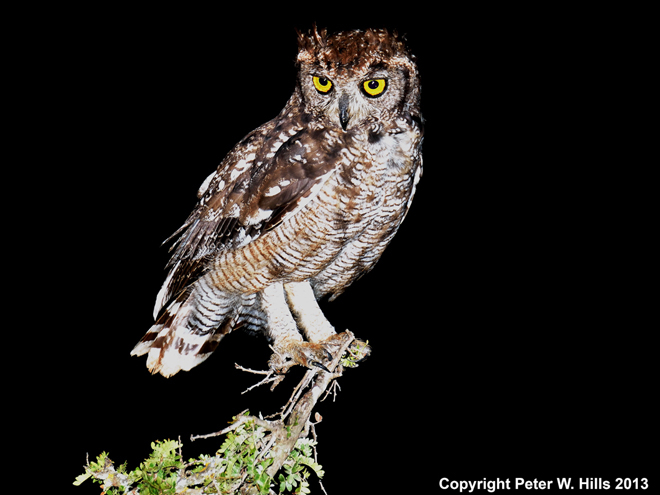 Spotted_Eagle_Owl
