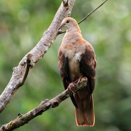 Pink_Pigeon_Mauritius