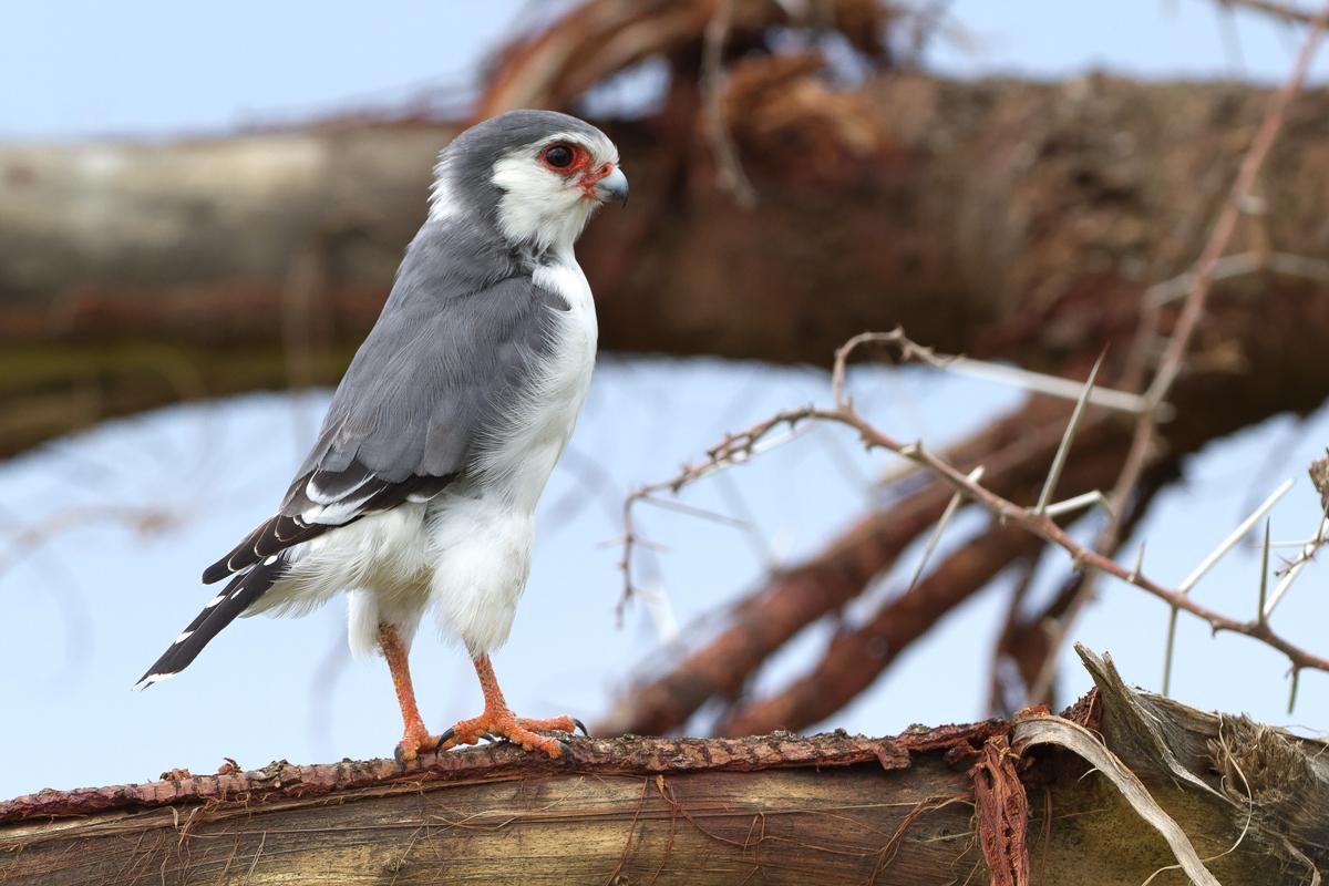 Tanzania_Pygmy_Falcon
