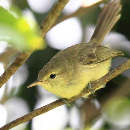 Rodrigues_Warbler