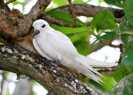 White_Tern_Rodrigues