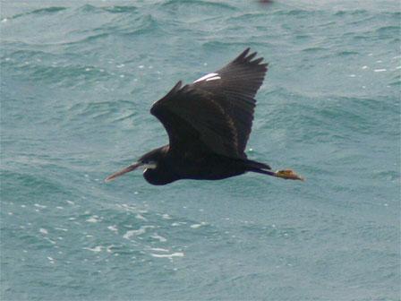 Western_Reef_Heron_São_Tomé